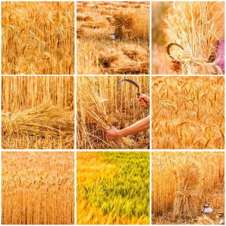 collage of nine differents beautiful golden wheat and harvest Stock Photo