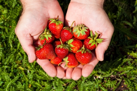 close-up picture of hands full of fresh strawberries Stock Photo