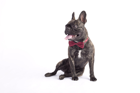 french bulldog in a tie. sitting in a studio on the white background. sticking out one's tongue