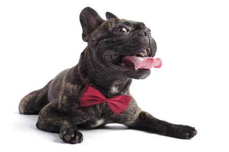 french bulldog in a tie. lies in the studio on white background. sticking out one's tongue Standard-Bild