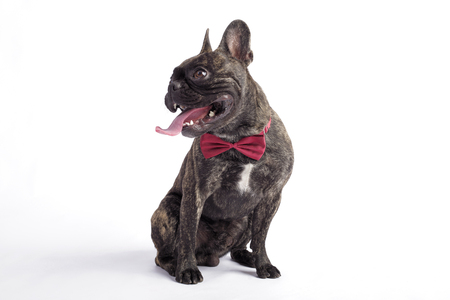 french bulldog in a tie. siting in the studio on white background Zdjęcie Seryjne
