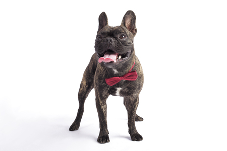 funny french bulldog in a tie. in studio on the white background. sticking out one's tongue Standard-Bild