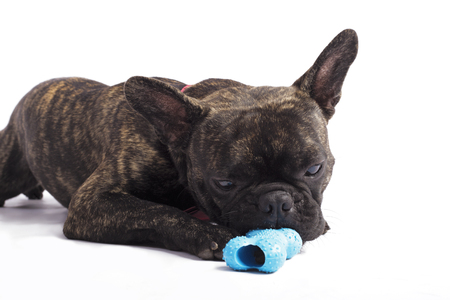 funny french bulldog playing with a bone on the white background