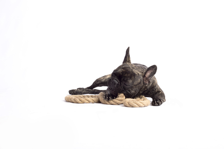 funny french bulldog playing with a rope on the white background