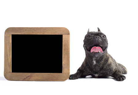 french bulldog lies near by frame in a studio on the white background. with his tongue hanging out