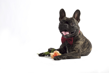 french bulldog lies with rose in a tie, in studio on white background Zdjęcie Seryjne