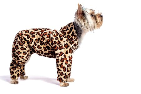 cute dog. Yorkshire Terrier. studio photo on a white background. in a leopard suit