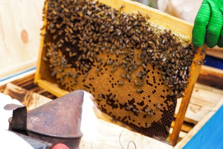 beekeeper checks honey. Column of bees working on a frame. frame with natural gold honey.