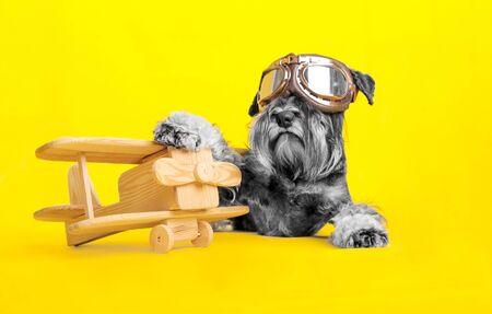 dog. miniature schnauzer. posing in the studio on a yellow background. dog pilot posing near the plane