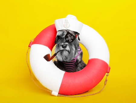 dog. miniature schnauzer. posing in the studio on a yellow background. sailor in a life buoy. sea wolf