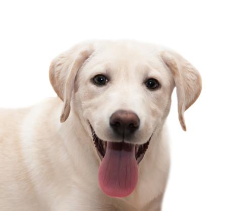 Puppy Labrador retriever isolated on white  Standard-Bild