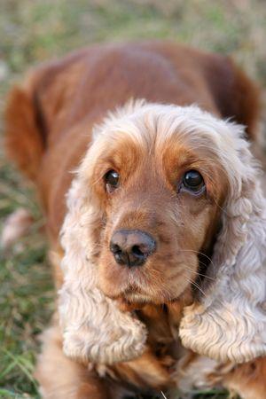 A beautiful Cocker Spaniel dog head portrait  in the park  photo