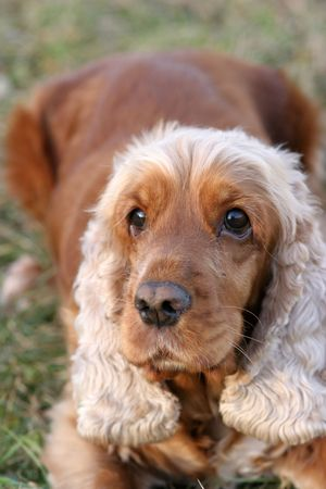 A beautiful Cocker Spaniel dog head portrait  in the park Stock Photo - 2314202