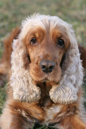 carlin: A beautiful Cocker Spaniel dog head portrait  in the park  Stock Photo