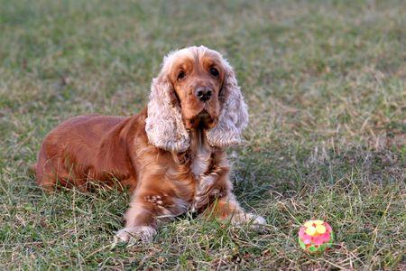 A beautiful Cocker Spaniel dog head portrait  in the park Stock Photo - 2314223