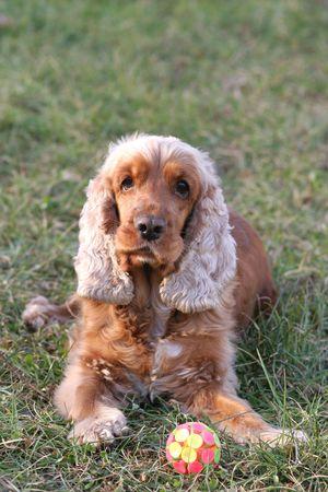 carlin: A beautiful Cocker Spaniel dog head portrait  in the park  Stock Photo