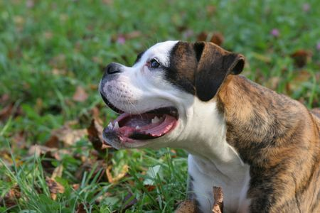 The boxer of the puppy on a green lawn Stock Photo - 2314211