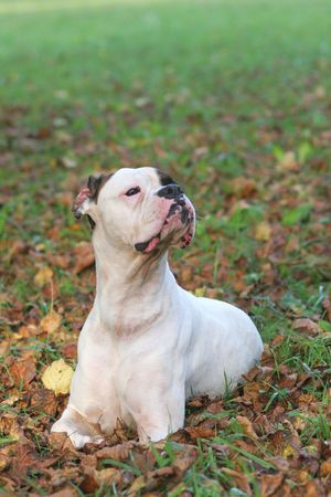 The boxer of the puppy on a green lawn photo