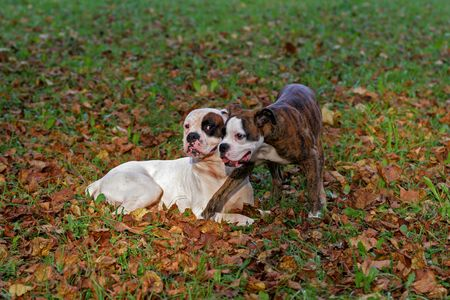 carlin: The boxer of the puppy on a green lawn