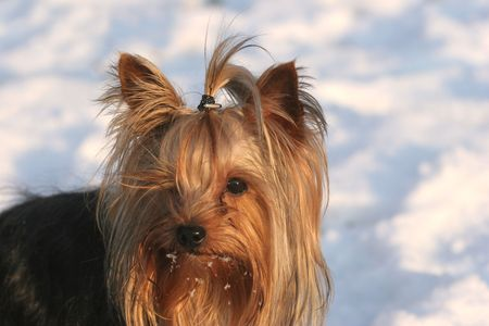 Portrait of the nice yorkshire terrier close-up Stock Photo - 2314209