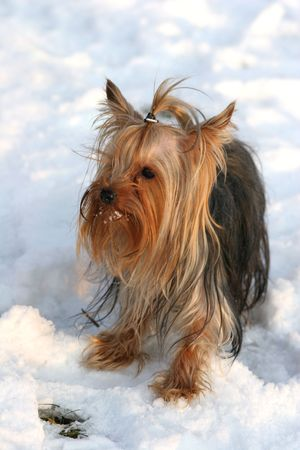 Portrait of the nice yorkshire terrier close-up Stock Photo - 2314207