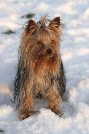 Portrait of the nice yorkshire terrier close-up Stock Photo - 2314206