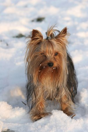 Portrait of the nice yorkshire terrier close-up photo