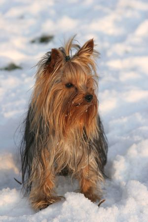 Portrait of the nice yorkshire terrier close-up Stock Photo - 2314205