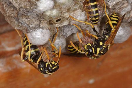 Wasps on Nest    ( polistes gallicus ) photo