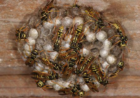 detai: Wasps on Nest