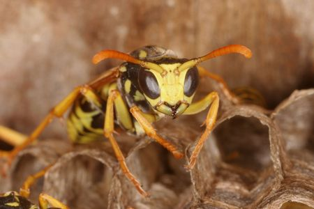 Wasps on Nest     photo