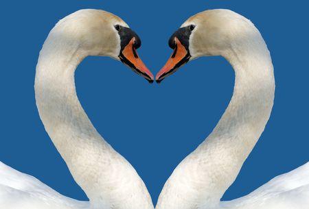 Swan Love photo