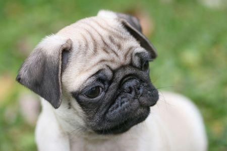 stitting: Beautiful Pug  Stock Photo