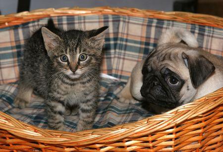 carlin: Cat with pug