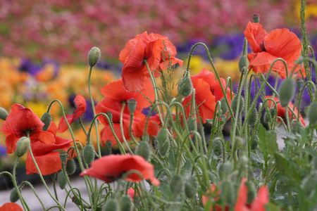 Beautiful Poppies Standard-Bild