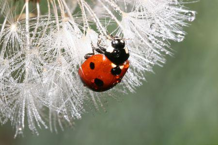 flower ladybug: Lady Bug Stock Photo