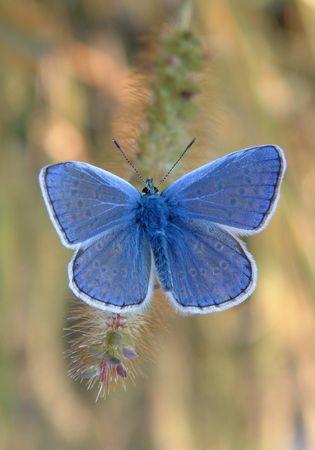 Blue Butterfly Standard-Bild