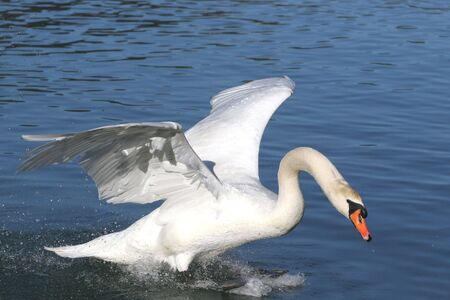 Swan in Action photo