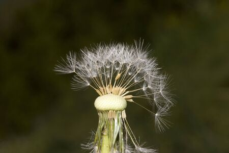 blow up: Isolated Dandelion