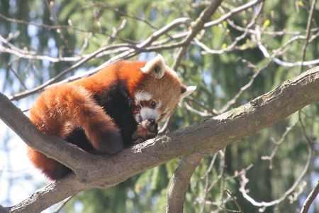 Red Panda Stock Photo - 2649849