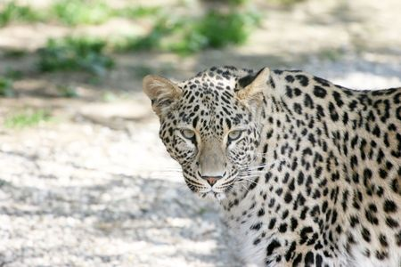 Leopard Stock Photo - 2649844