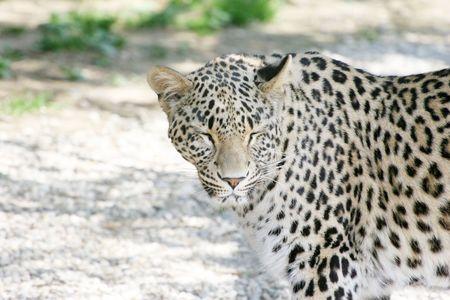Leopard Stock Photo - 2651020