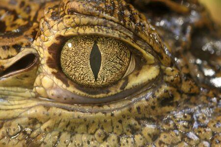 Crocodile Eyes Stock Photo