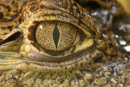 Crocodile Eyes Standard-Bild