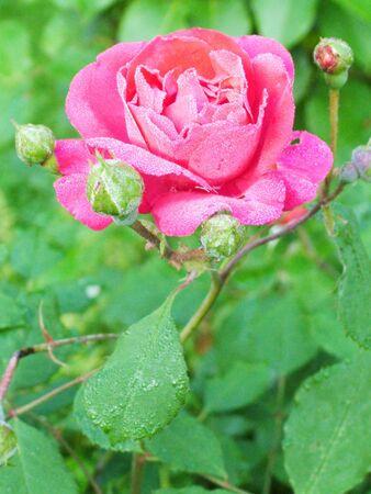 Rose Stock Photo - 2694701