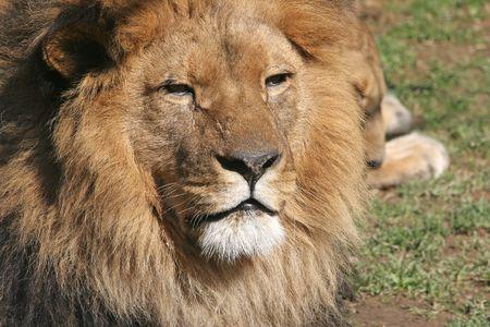 Lion  Banque d'images - 2733279