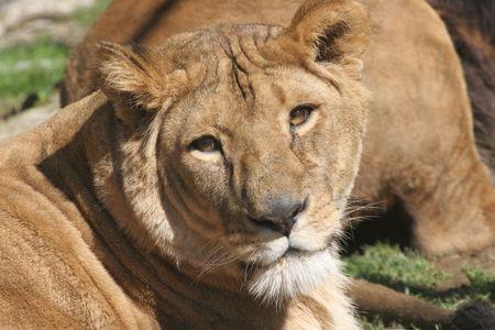 Lioness Stock Photo - 2733321