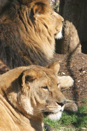 Lioness Stock Photo - 2733317