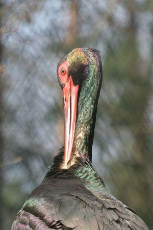 black stork: Negro Stork
