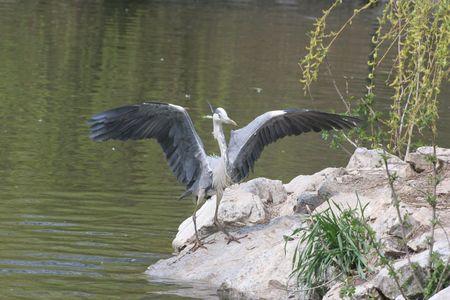 grey heron: Grey Heron